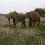 Kruger Safari Elephants